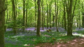 Bluebell carpet in Virginia Woods, Cavan (Pic: Deirdre Gaughran)