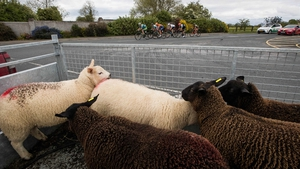 Lambs look on as the Ras surges towards Ballyjamesduff