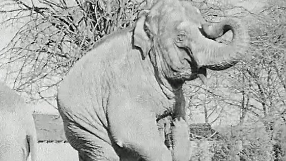 Sarah the Elephant at Dublin Zoo (1962)