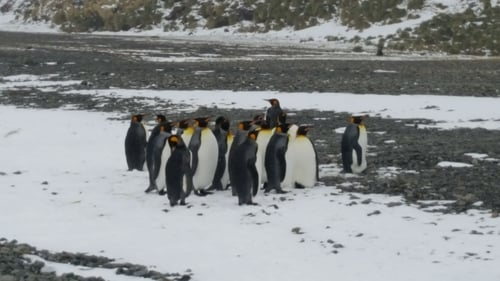 Group of Penguins near Peggotty Bluff.