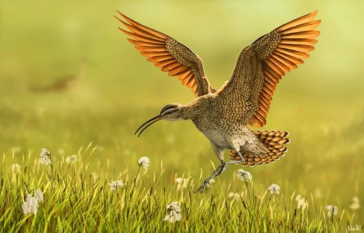 Nature File - The Curlew - With Anja Murry.