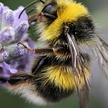 Nature File - The Bumblebee with Anja Murry