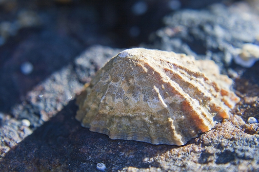 Nature File - Limpets