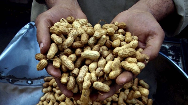 Peanuts are one of the most common foods to cause anaphylaxis, a potentially fatal allergic reaction