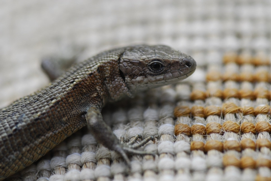 Nature File - Lizards