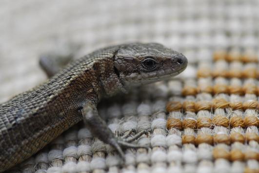 Nature File - Lizards