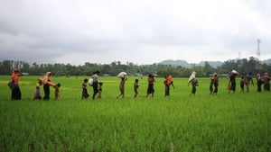 Rohingya trek across a paddy field into Bangladesh