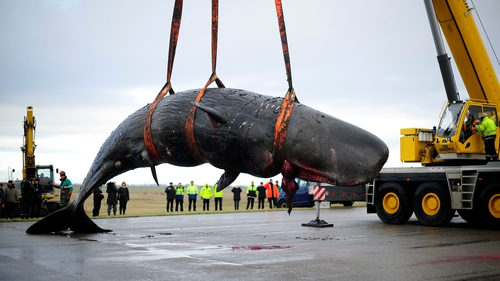 A dead whale is removed in Hanover, Germany