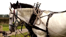 The Irish Draught Horse | Ploughing Live