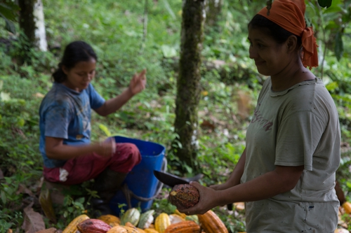 Peace community, Apartado Colombia harvesting Cacao , one of the prime ingredients in chocolate