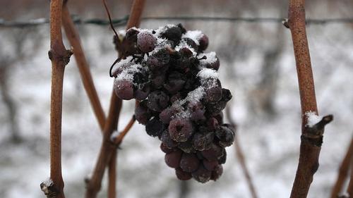 Frozen wine grapes in Heiligenstein in Alsace in north-eastern France