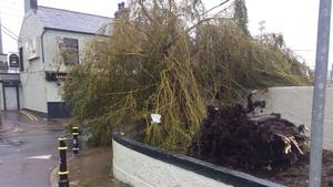 A fallen tree outside Turner's Cross