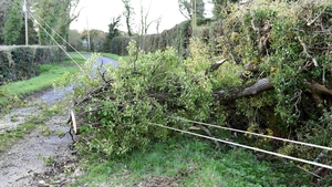 A fallen tree affecting power lines in Timahoe