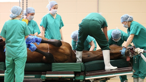 Wind operations are carried out to improve free flow of oxygen to a horse's lungs