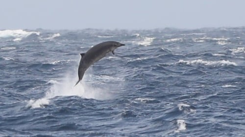 Beaked whales are rarely seen at sea due to their shyness