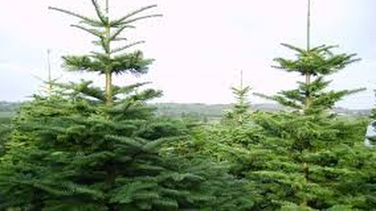 Christmas Trees - Liam Geraghty