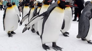 King penguins (file image) like chilly weather but Canada's cold snap proved too much