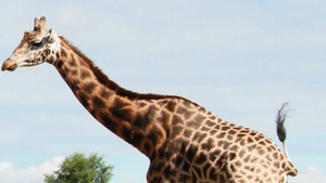 Tadgh was one of Fota Wildlife Park's oldest giraffes