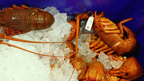 It will no longer be permitted to transport live lobsters on ice or in icy water