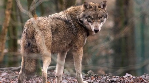 Since the Bern Convention of 1979, the wolf has become a protected species in Europe (File picture)