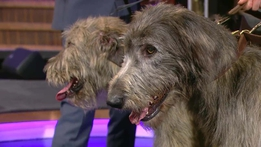 Bunratty Castle Irish Wolfhounds | The Ray D'Arcy Show