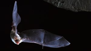 Researchers at UCD examined long lifespans of certain bat species