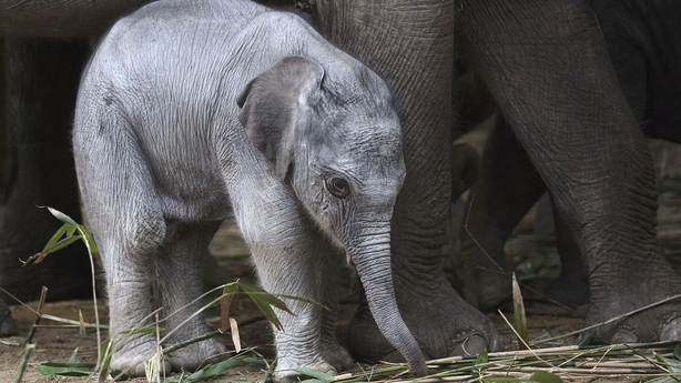 Dublin Zoo announces arrival of healthy baby elephant