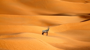 One of nearly 150 Arabian Oryx reintroduced into their natural habitat after fears about extinction. Photo: Karim Sahib/AFP/Getty Images