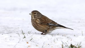 A Linnet surveys its limited options in freezing temperatures