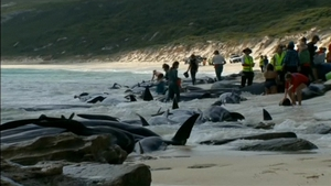 Rescuers were trying to save the surviving whales (Images: Leearne Hollowood and Hamelin Bay Holiday Park)