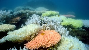 The Great Barrier Reef has suffered significant bouts of coral bleaching due to rising sea temperatures