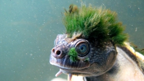 The turtle's 'Mohican' is actually algae (Image: Chris Van Wyk)