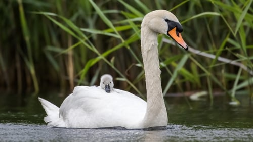 Swans Have Come Back >> 6 Things To Know About Swans