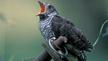 Nature File - The Cuckoo.