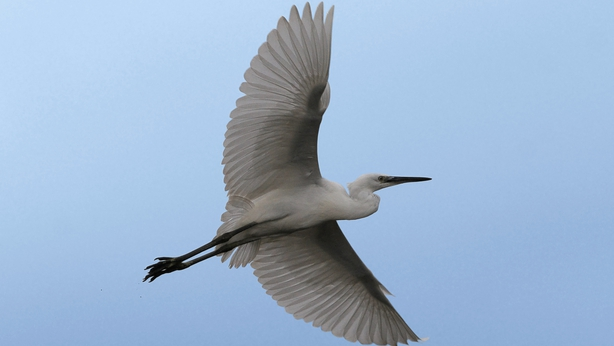 Little-Egret-Photography-Credit-Colum-Clarke-2