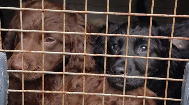 Twenty-seven puppies rescued from Scotland port and returned to Ireland
