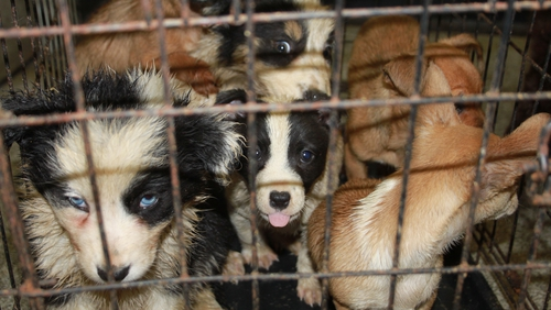 27 trafficked puppies seized at Cairnryan Port