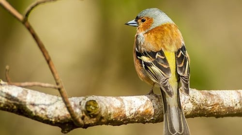How do you identify a bird by their song?