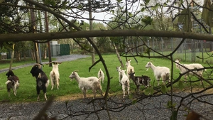 A group of around 22 wild goats have been wandering around the area