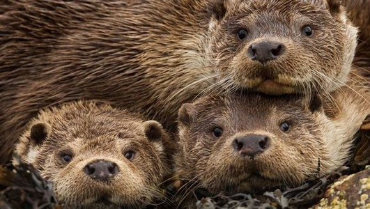 Naturefile - The Otter and family...