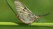 Nature file - Mayflies