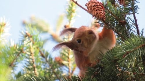 I'm back, baby: a red squirrel in Killiney, Co Dublin. Photo: Michael Ryan/Luzy Desierdo