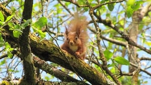 A red squirrel in Killiney Hill Dublin (pic: Michael Ryan/Luzy Desierdo - NUIG)