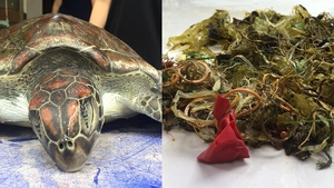 Plastic, rubber bands, pieces of balloon and other rubbish had filled the turtle's intestinal tract