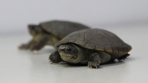 The turtles measure just 10cm long