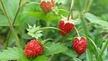 Naturefile - Wild Strawberries