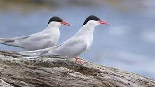 Naturefile - Terns