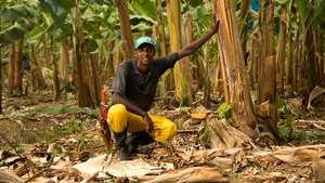 Fyffes is the leading marketer of organic and Fairtrade bananas to Europe