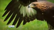 Six One News (Web): Boru, the Golden Eagle goes missing in Co Monaghan