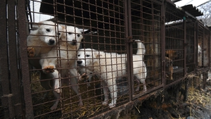 Caged dogs at a dog farm in Namyangju on the outskirts of Seoul